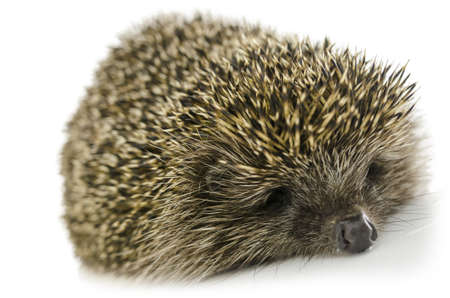 nocturnal: Sleeping hedgehog isolated on white background. Stock Photo