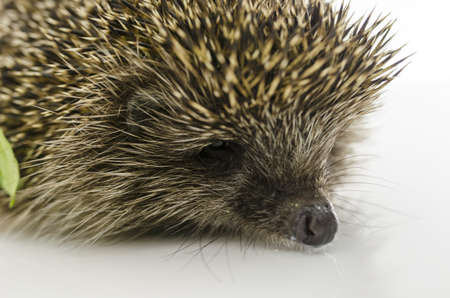 Detail of hedgehogs head  Isolated on white  photo