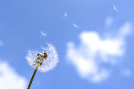 villus: Blown dandelion on a blue sky. Stock Photo