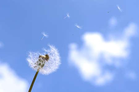 Tarassaco soffiato su un cielo blu. Archivio Fotografico - 20428593