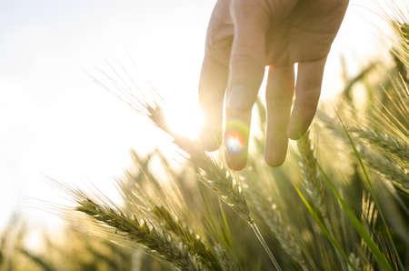 Hand van een landbouwer raken rijping tarwe oren in de vroege zomer.