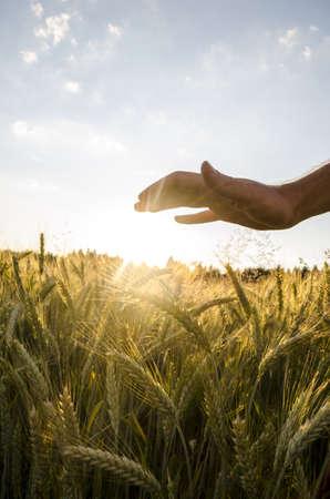 generoso: La mano masculina sobre el hermoso campo de trigo al atardecer.