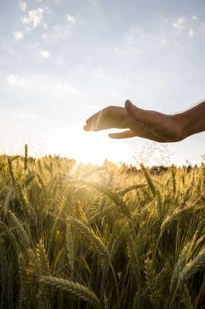 generous: Male hand over beautiful wheat field at sunset.