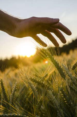 cultivo de trigo: Detalle de la mano masculina acariciando campo de trigo.
