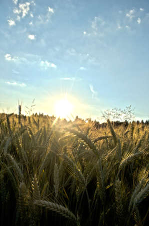 Sunset over beautiful wheat field in early summer evening. Stock Photo - 20824694