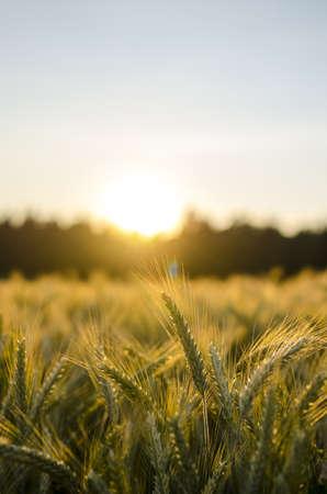 cultivo de trigo: Campo de trigo a principios de verano al atardecer.