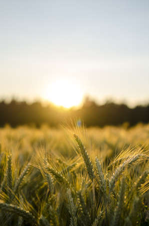 ripening: Wheat field in early summer at sunset.