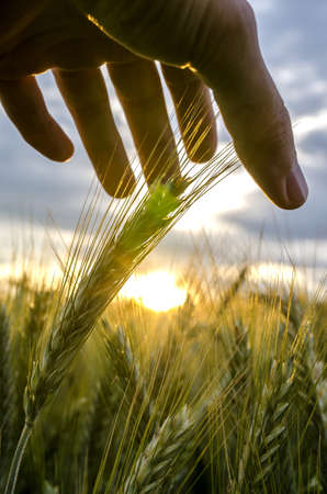 caring for: Male hand stroking ripening wheat ears  Concept of human caring and protecting for nature