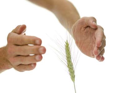 alternative healer: Male hands around wheat ear. Concept of alternative medicine.