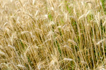 wheatfield: Closeup of golden wheat field in summer.