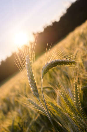 evening out: Few wheat ears standing out of ripe wheat field in summer evening.
