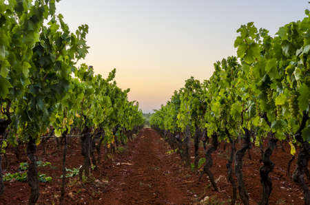 red soil: Vineyard in early summer evening.