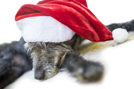 Cute black dog with red Santa hat. Over white background. photo