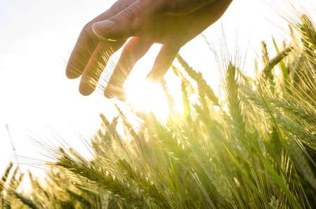 Consegnare campo di grano in serata estiva.