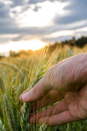 ripening: Male hand holding ripening  wheat ear growing in field. Stock Photo