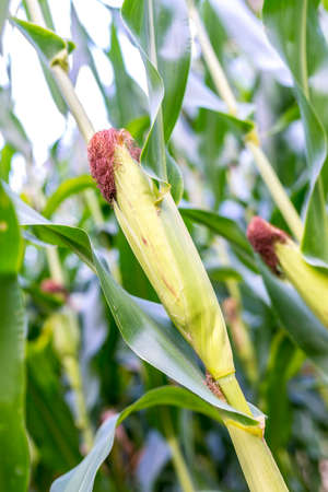 Closeup of ripening corn field. photo