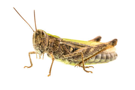 grasshoppers: Macro shot of grasshopper isolated over white background.