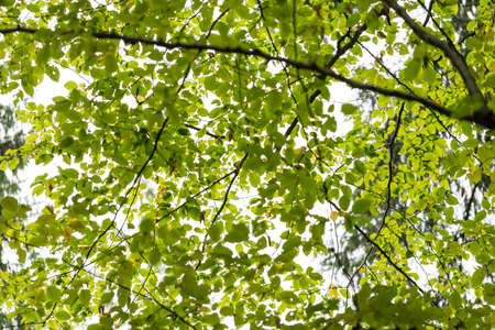 Crown of green beech in late summer. Stock Photo