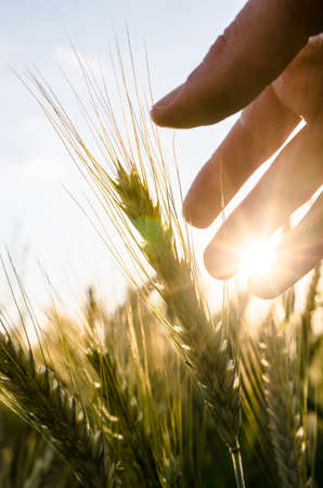 Detail of farmer hand caring for his wheat field. Stock Photo - 22565261