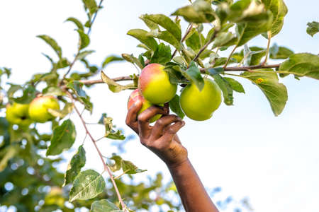Closeup of african girl picking delicious ripe apples.  photo