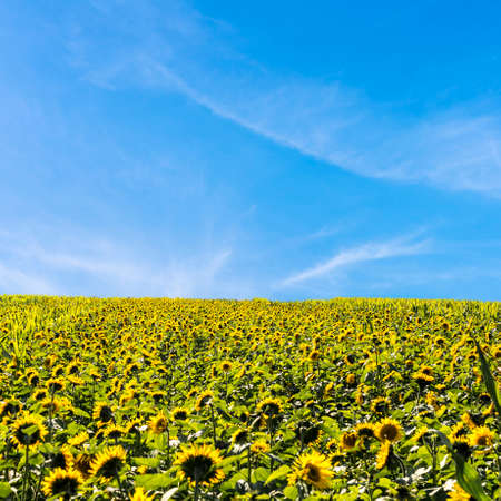 Beautiful field of blooming sunflowers with blue sky. photo