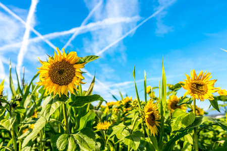 Beautiful field of sunflower with blue sky with contrails. photo