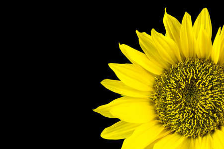 Beautiful blooming sunflower over black background. photo