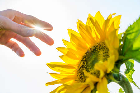 Closeup of male hand about to pick a beautiful sunflower on a sunny day. photo