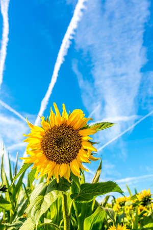 Beautiful sunflower over blue sky with contrails. photo