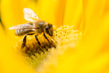 Macro shot of bee on a yellow flower. Shallow dof. photo