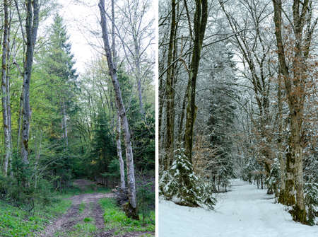 branched: Diptych showing winter and spring in woodland with one scene of a forest track between trees sprouting fresh green foliage and the second of bare branched trees in snow Stock Photo