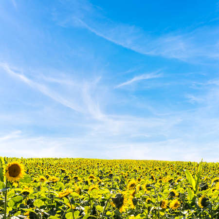 ripen: Field, of heliotropic yellow sunflowers in summer sunlight with their heads turned to face the source of the sun as their seeds ripen to provide sunflower oil and animal fodder