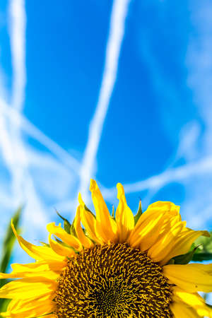vapour: Colourful bright yellow sunflower growing in an agricultural field under a sunny blue summer sky with a pattern of contrails or vapour trails from jetliners