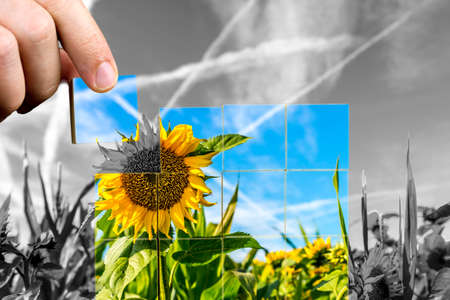 white colour: Crop of sunflowers in the field with a man replacing the background black and white image with colour on cubes Stock Photo