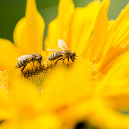 pollinators: Two honey bees, Apis mellifera, foraging for nectar and pollen on a yellow sunflower, of importance in the production of honey as well as being critical to agriculture for the pollination of the crops