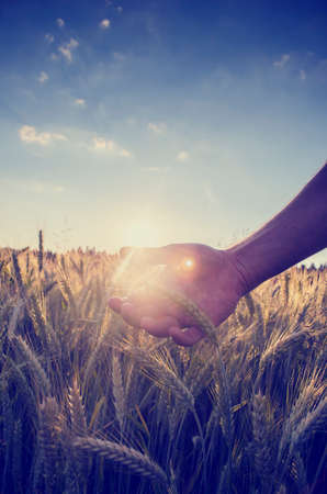 Retro image with a faded sun flare effect of a hand cupping the wheat over a field of ripening ears of wheat on a hot summer day under a clear blue sky. Фото со стока