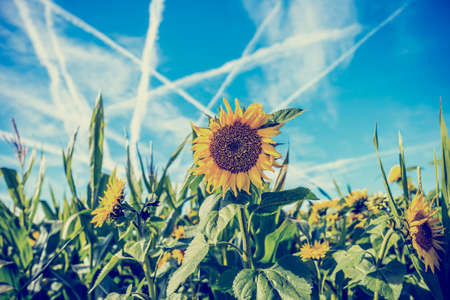 Retro image of a field of colourful yellow sunflowers grown for their seeds and sunflower oil with a pattern of criss-crossing white contrails in a blue sky. photo