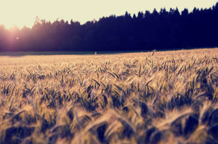 ripening: Sunrise casting a warm glow over a field of ripening ears of golden wheat as it appears over the tops of the trees, retro effect faded look.