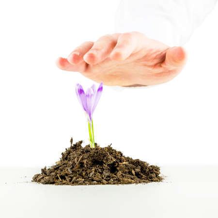 Conceptual image of ecological awareness and renewal with a male hand protecting a fresh spring freesia in rich organic soil on a white . photo