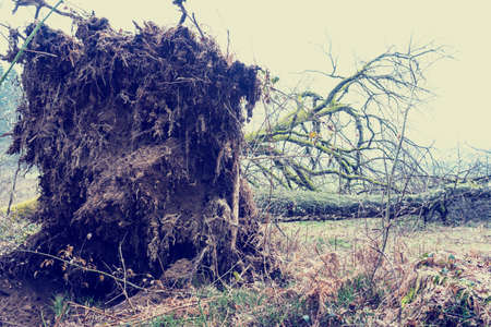 wind force: Root system of a tree felled by the force of the wind in a storm lying on its side in a rural field with a portion of the trunk and bare branches visible. With retro filter effect. Stock Photo