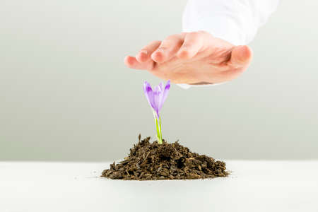 flowering plant: Hand of a man nurturing a fresh purple freesia flower growing in a pile of rich organic earth on a white surface as he protects it from above in a conceptual image of saving the planet and ecology.