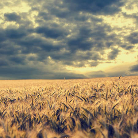 Vintage style toned and faded image of dark storm clouds gathering over a field or ripening golden ears of wheat in square format. photo