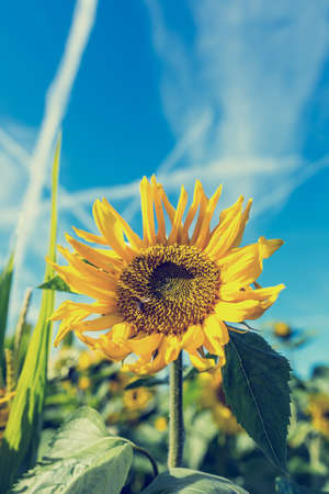 Retro image of bright fresh yellow sunflower, or Helianthus, growing in an agricultural field under a sunny blue sky crossed with contrails from airliners. photo