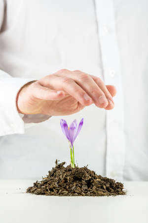 health care decisions: Man protecting a beautiful fresh purple flowering spring freesia sprouting from mound of rich organic earth on a white desktop, closeup of the flower and hand. Stock Photo