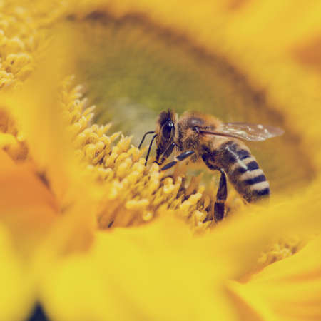 apis: Close up of a honeybee, Apis mellifera, foraging for pollen on a bright yellow sunflower pollinating the crop as it passes from flower to flower. Stock Photo