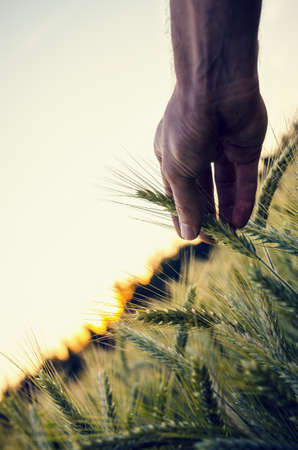 genetically modified organisms: Conceptual image with male hand holding ripening wheat ear in a beautiful wheat field. Concept of modern problematic of genetically modified organisms and its health risks.