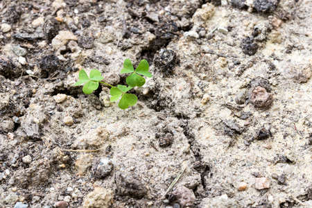 tough luck: Fresh green clover sprouting in parched dry earth symbolic of spring and the renewal of life.