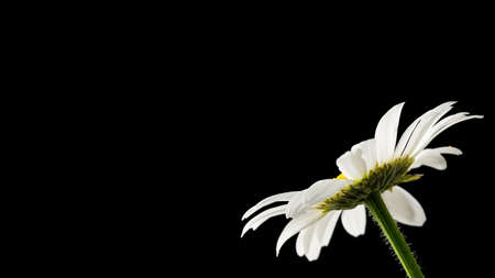 with sympathy: Beautiful daisy on black background. Empty space ready for your text. Stock Photo
