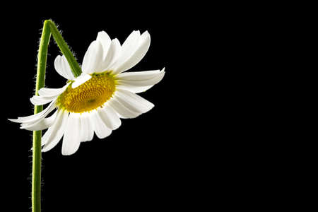Beautiful fresh white summer daisy with a bent stem contrasted against a dark background with copyspace. Stock Photo