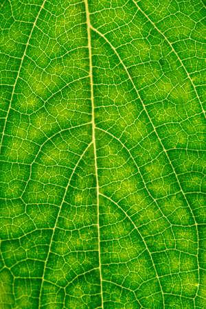 chlorophyll: Macro shot of fresh green beech leaf. Stock Photo